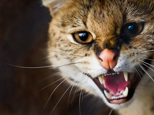 Domestic cats kill wildlife indiscriminatly